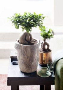 Decorar con Ficus Ginseng Bonsái