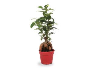 Planta de Ficus Ginseng