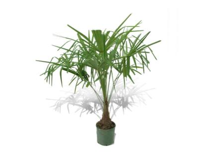 5 Tipos De Palmeras Resistentes Para El Jardín Blog Verdecora