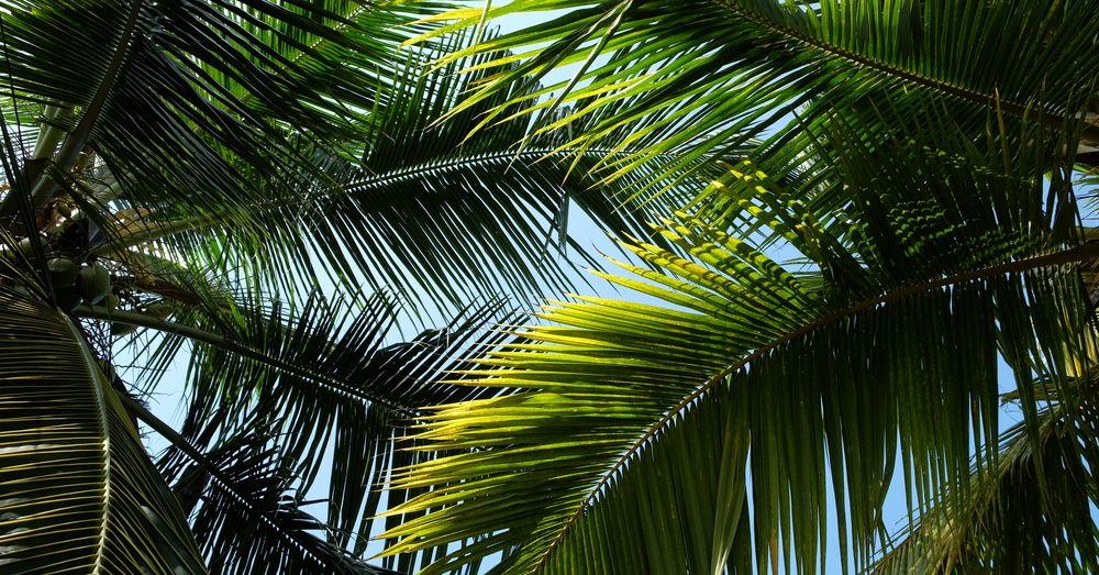 5 tipos de palmeras para decorar tu jardín