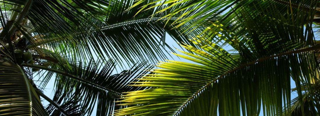 Verdecora plantas mascotas y todo para tu jard n - Tipos de palmeras de interior ...