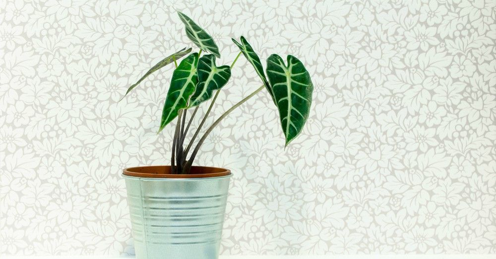 Alocasia todo sobre la planta oreja de elefante blog for Planta ornamental oreja de elefante