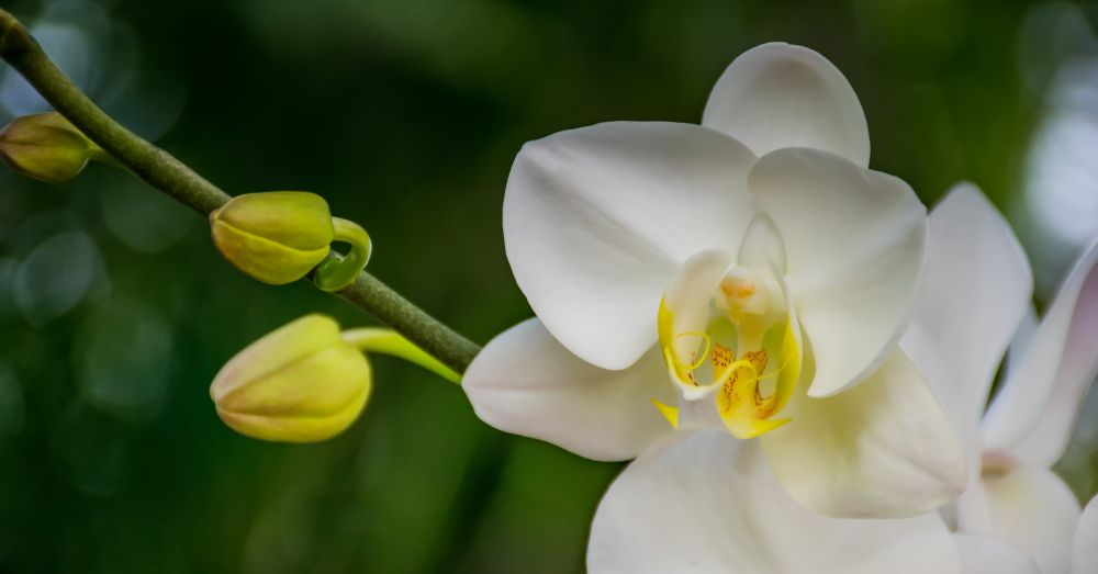 Cuidados De Las Orquideas Tras La Floracion Blog Verdecora - Cuidados-de-la-orqudea