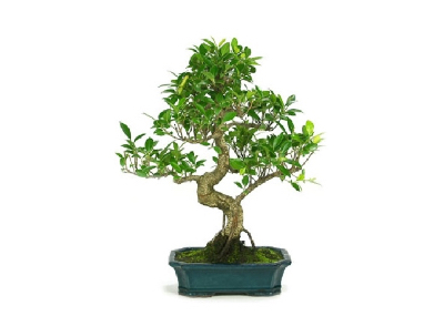 C mo podar un bons i m todos y herramientas blog verdecora - Bonsai verdecora ...