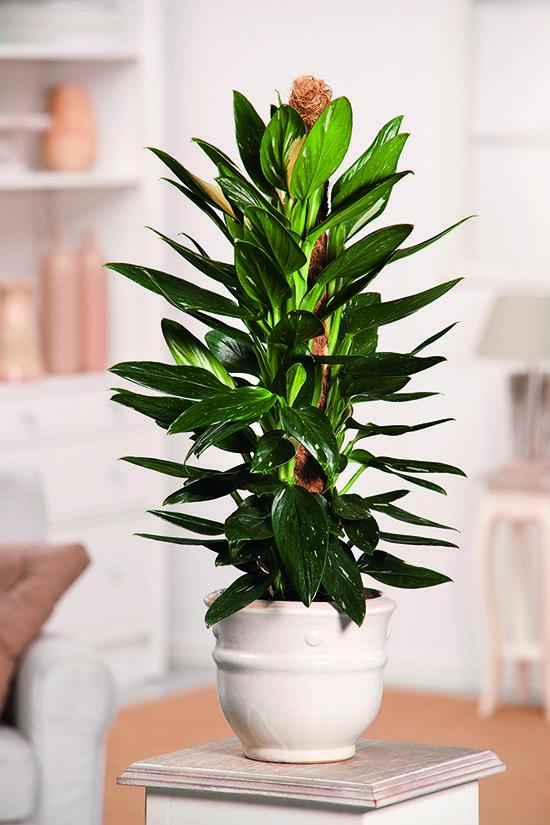 Cultivo del philodendron variegado