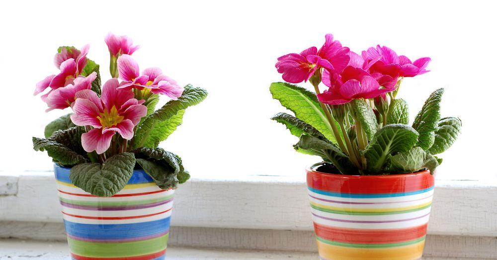5 Plantas De Otono Con Flor Para Interior Blog Verdecora - Plantas-interior-con-flor