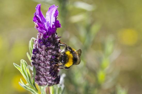 Cómo atraer insectos polinizadores como la abeja