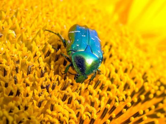 Cómo atraer insectos polinizadores como los escarabajos