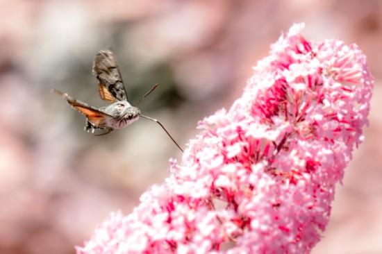 Cómo atraer insectos polinizadores como la esfinge colibrí