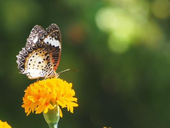 Cómo atraer insectos polinizadores como la mariposa