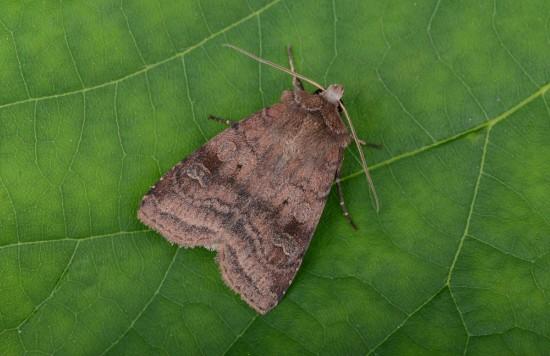 Cómo atraer insectos polinizadores como la polilla nocturna