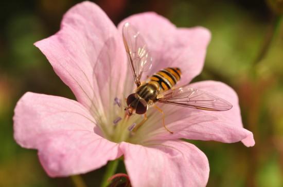Cómo atraer insectos polinizadores como los sírfidos