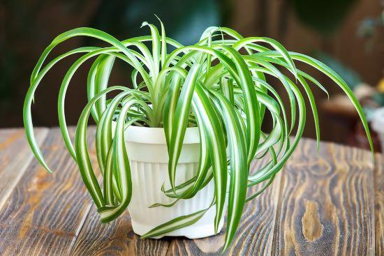 Cinta plantas antiestrés