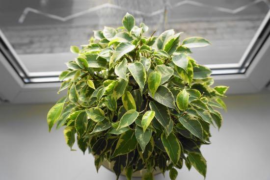 Ficus Benjamina, una de las plantas antiestrés
