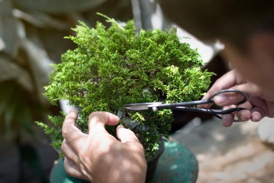 Bonsái, uno de los mejores regalos de jardinería