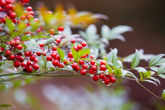 Uno de los arbustos para plantar en enero más coloridos