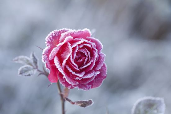 Rosales, arbustos para plantar en enero