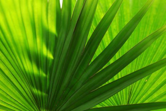 Hojas de la livistona rotundifolia