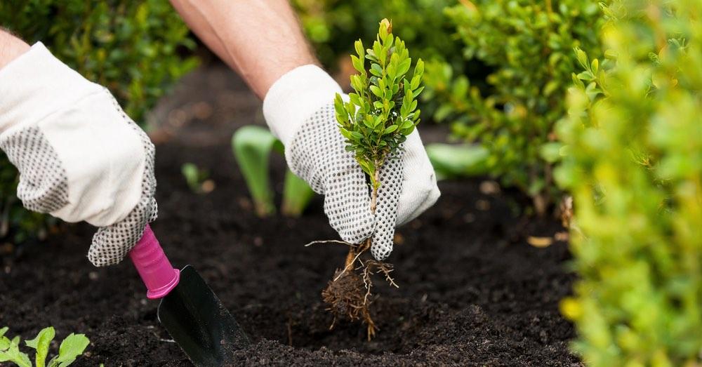 Cómo plantar arbustos correctamente