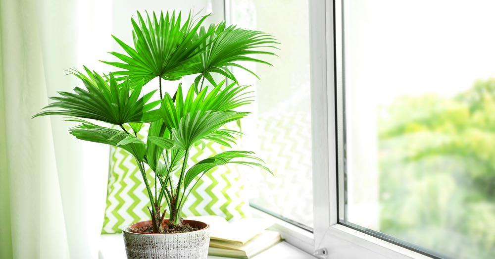 Cuidados de la livistona rotundifolia