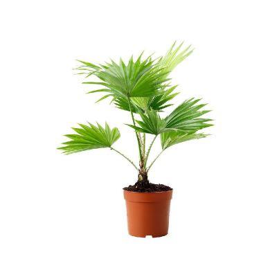 Cuáles son los cuidados de la livistona rotundifolia