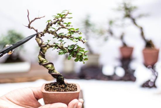 Bonsái, una de las plantas zen