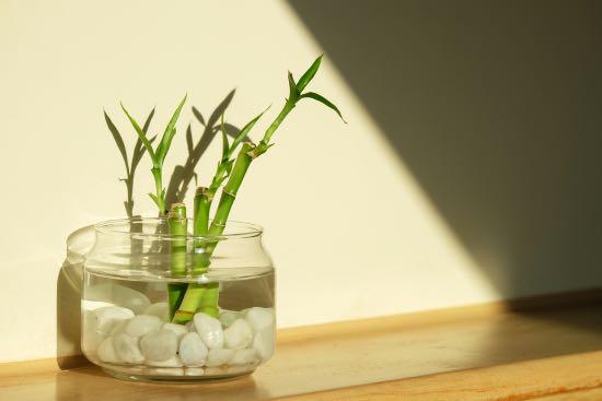 Lucky bambú, una de las plantas zen