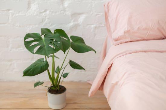 Monstera, una de las plantas zen más hermosas