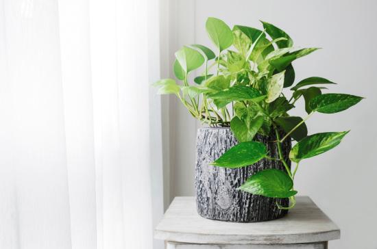 Potho, una de las plantas zen más populares