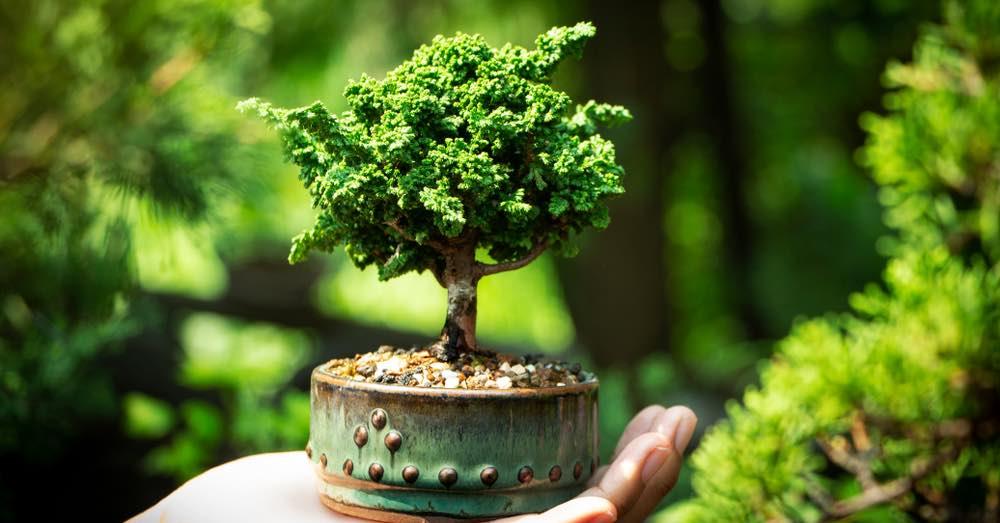 Cinco Cuidados Del Bonsai De Interior Blog Verdecora