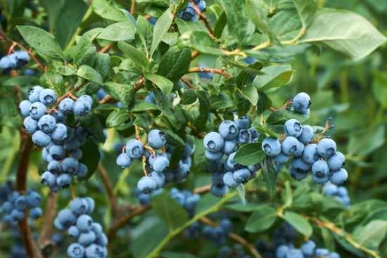 Plantar arbustos frutales de arándanos