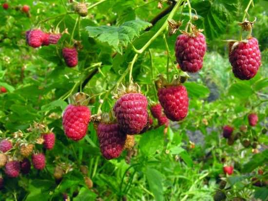 Plantar arbustos frutales de frambuesa