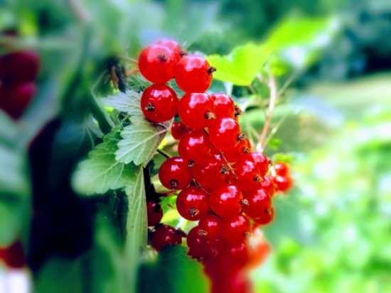 Plantar arbustos frutales de grosella