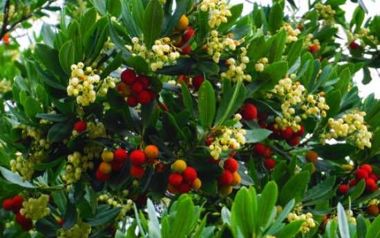 Plantar arbustos frutales de madroño