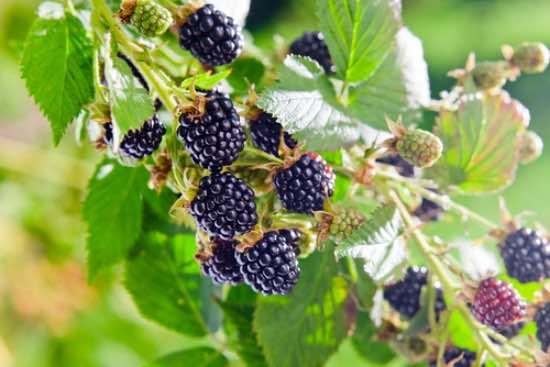 Plantar arbustos frutales de mora