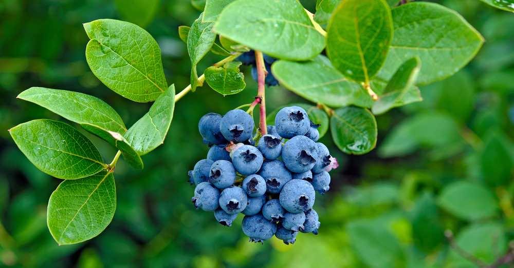 Arbustos frutales para plantar ahora