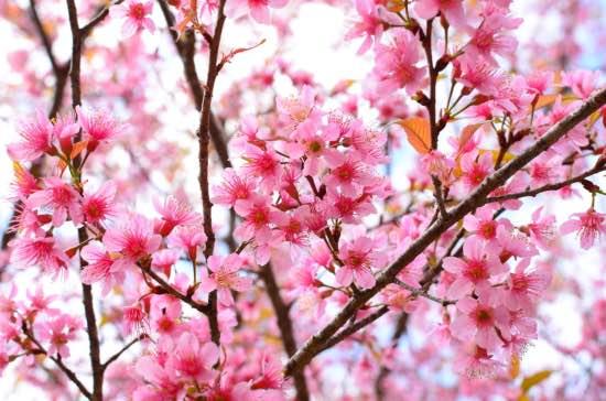 Cerezo de flor en flor