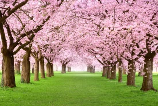 Plantación de cerezo de flor