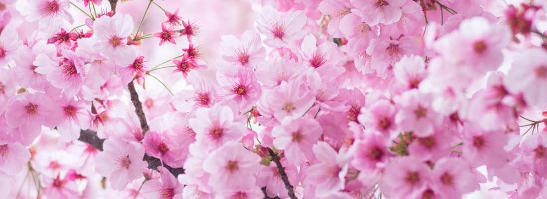 Cuidados del cerezo de flor