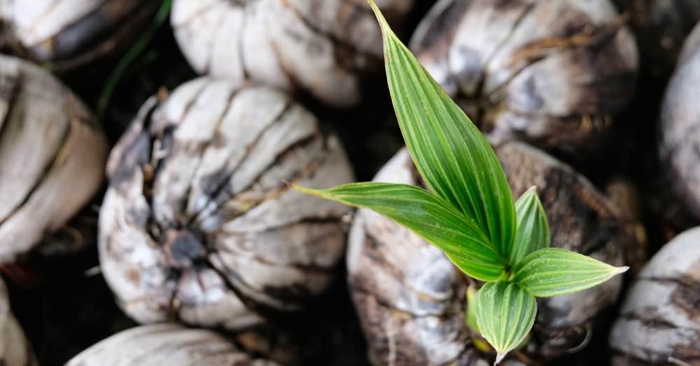 Cómo cultivar el cocotero en maceta