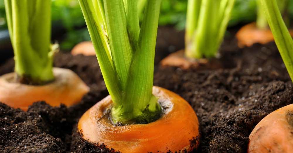 Cuándo y cómo sembrar zanahorias en el huerto