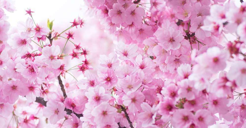 Cómo cultivar el cerezo de flor