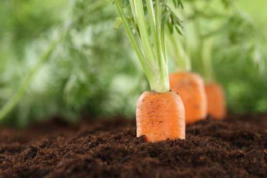 Distancia para sembrar zanahorias