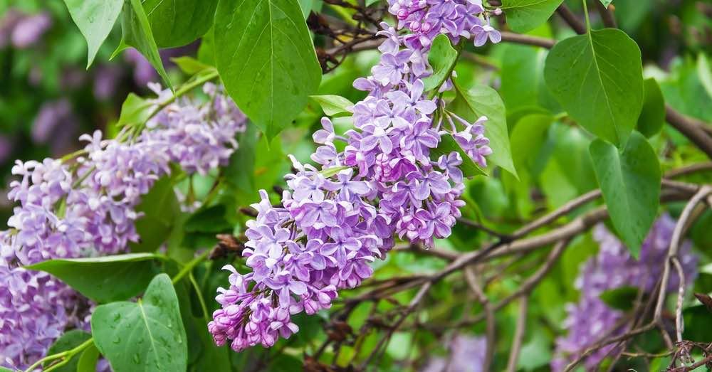 Cuidados del lilo o lila | Blog Verdecora