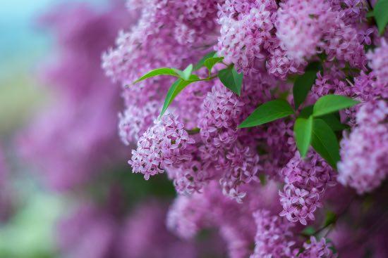Lilo en flor