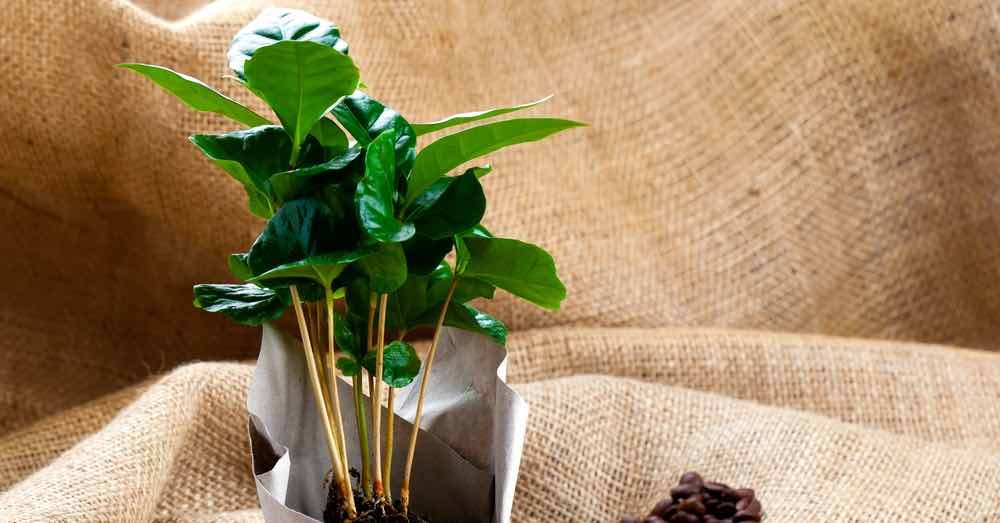 Cuidados de la planta del café