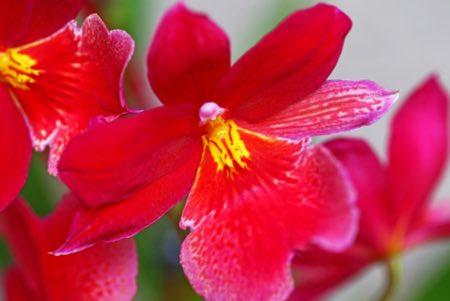 Luz adecuada para las orquídeas Cambria