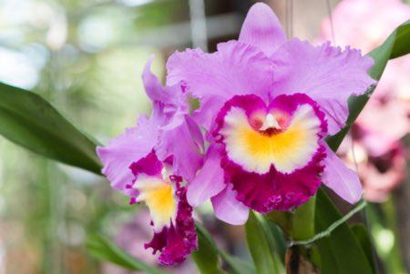 La luz más adecuada para las orquídeas Cattleya