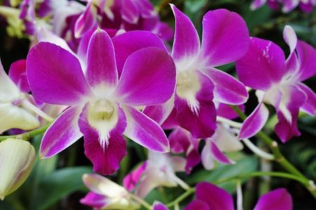 La luz más adecuada para las orquídeas dendrobium