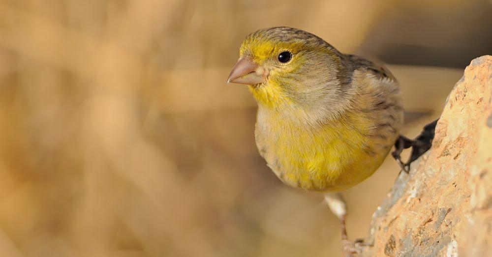 Comportamiento de los canarios: cómo mejorar su canto